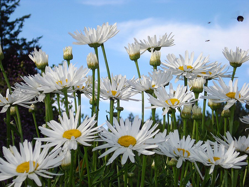 Field Of Daisies By Lonnierocks At Flickr