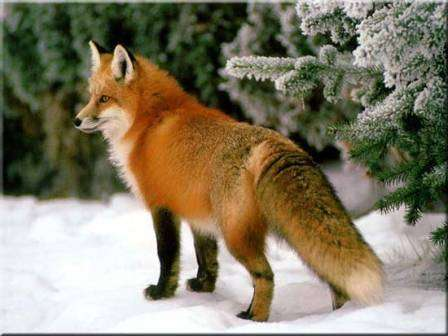 red fox in snow - photo #43