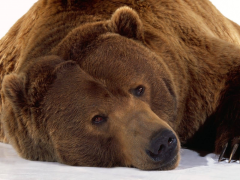 Brown-bear-in-the-snow
