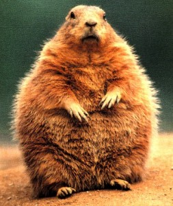 fat groundhog from kara at allthingsd dot com