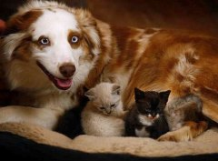 aussie shepherd with kittens from latimesblog