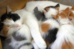 mama cat and kittens from aboutcatsonline dot com