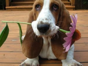basset-hound-howard_from national geographic