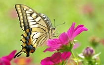 butterfly-on-a-red-flower