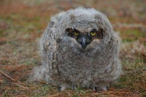great horned owlet from raptoreducationgroup at blogspot