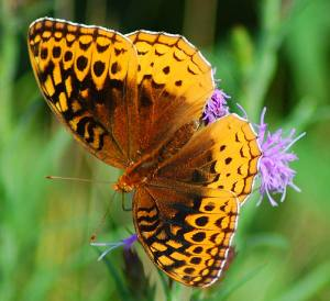 The Great Spangled Fritillary is a key player in the story!
