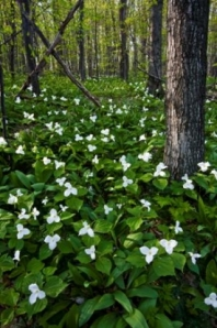 trillium in the woods from visitbenzie dot com