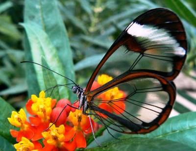 glasswing-butterfly from all-that-is-interesting dot com