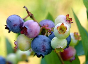 blueberries from wikipedia