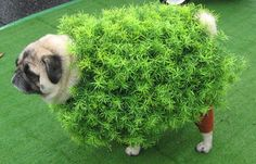 This bush disguise is not truly effective for a dog. Hopefully it works better for Toda's father.