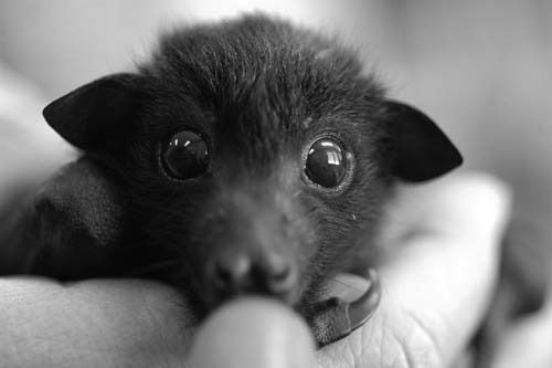 little fruit bat