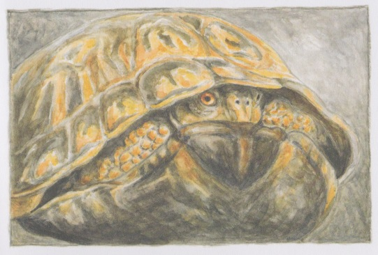 terrapin and other poems illustration1 tom pohrt