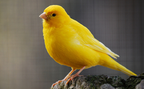 Yellow_Canary
