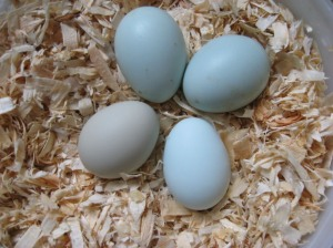 blue-chicken-eggs