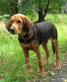hound-dog-mix