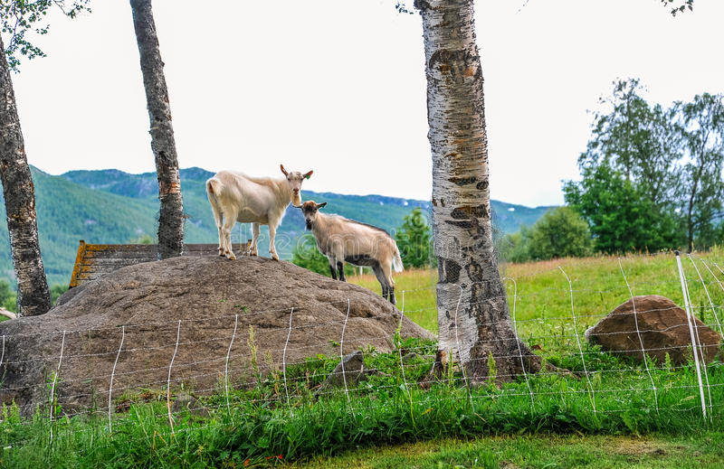 geilo-norway-july-goats-standing-rock-middle-green-meadow-city-geilo-norway-92243163