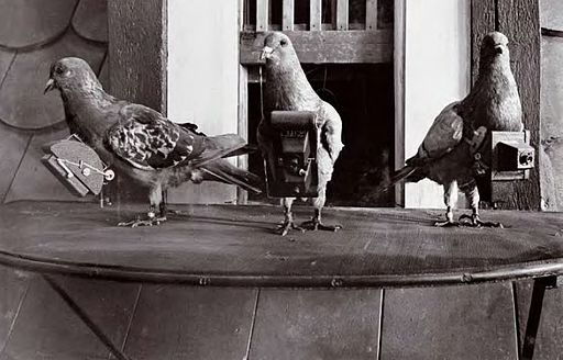 pigeons with cameras