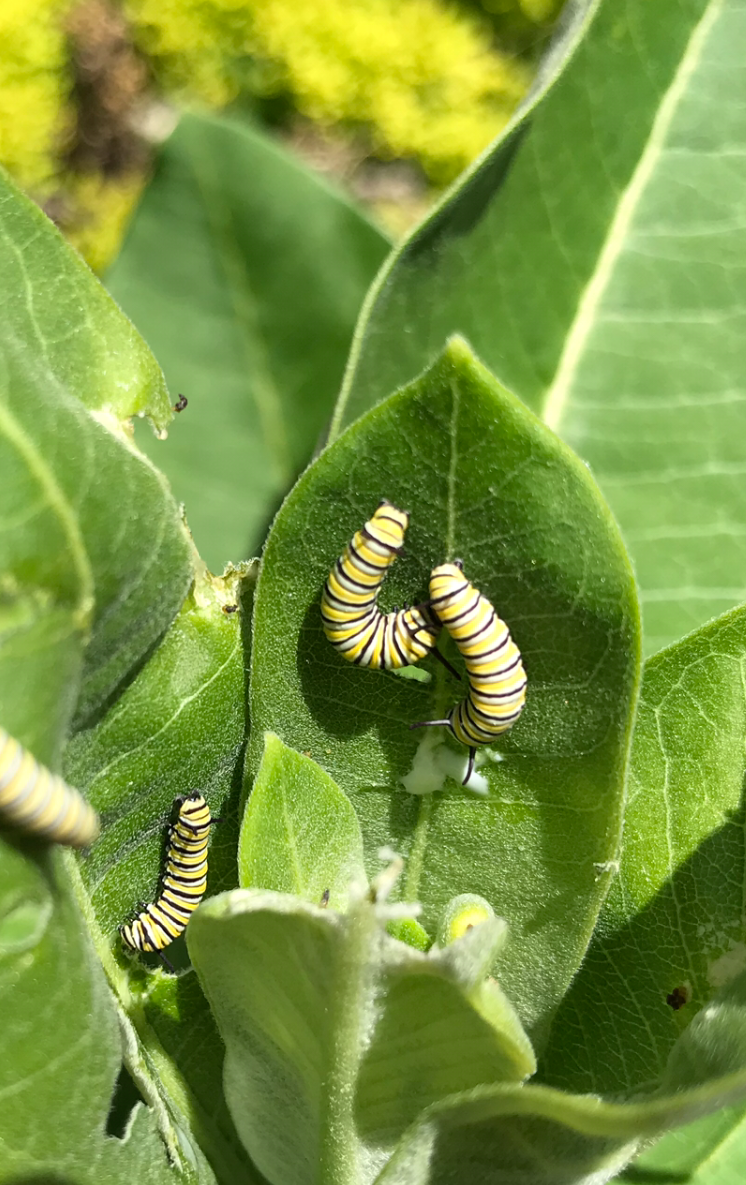 monarch-caterpillars.png