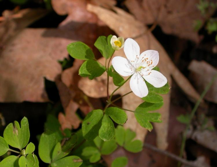 false_rue_anemone_4-2-12