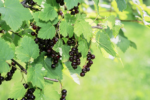 Black currant on green bush.